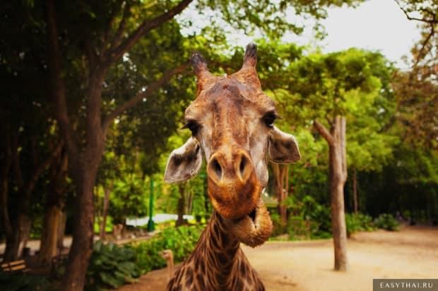Жираф в зоопарке Таиланда