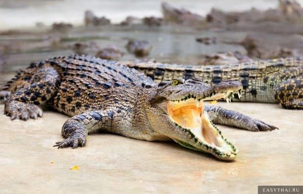 Много крокодилов