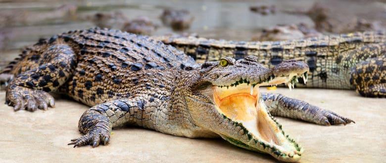 Шоу крокодилов: раскрываем секреты
