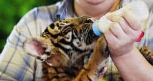Зоопарк тигров Си-Рача