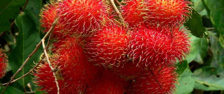 Рамбутан. Мохнатый фрукт.