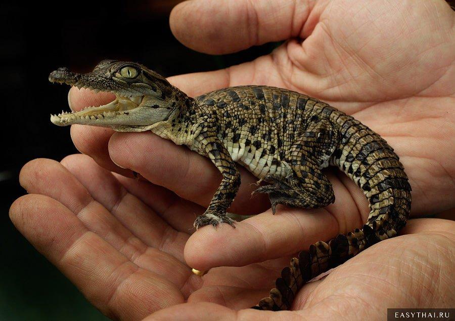 Родившийся маленький крокодил