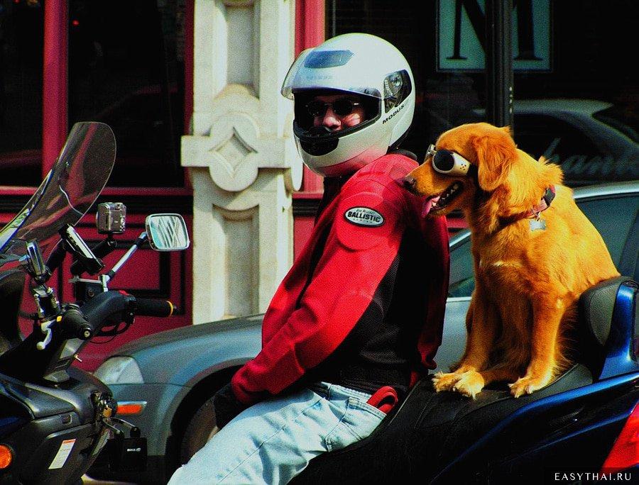 Так тайцы возят своих собак