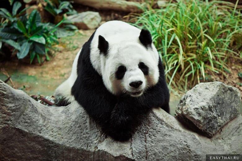 Панда из зоопарка в Чианг-Мае