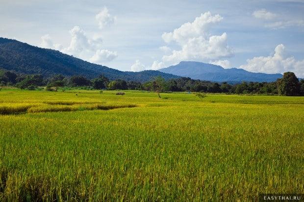 Рисовые поля северного Таиланда