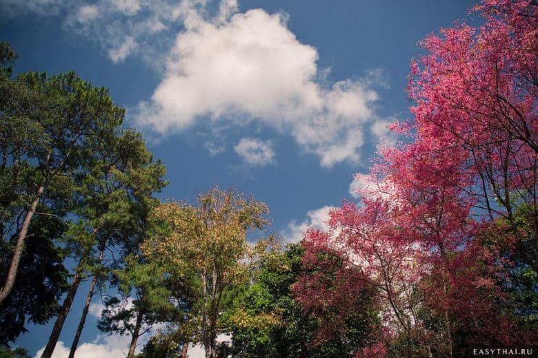 Цветущая сакура на фоне неба