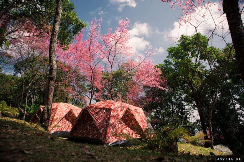 Палатки на фоне сакуры