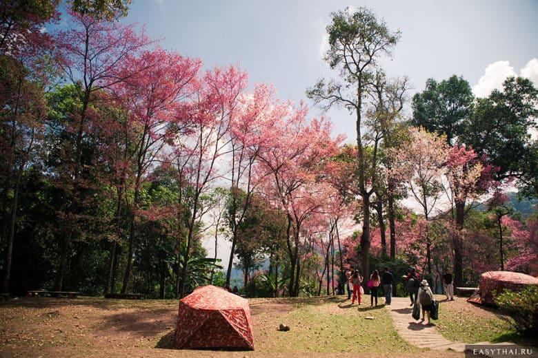 Палатка на фоне сакуре в кемпинге Дой Пуй Йод