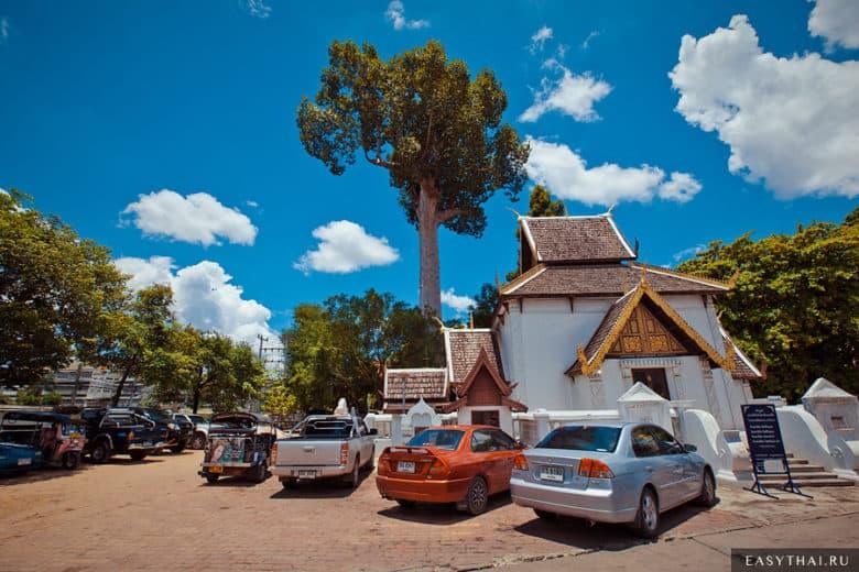 Огромное дерево возле храма Чеди Луанг