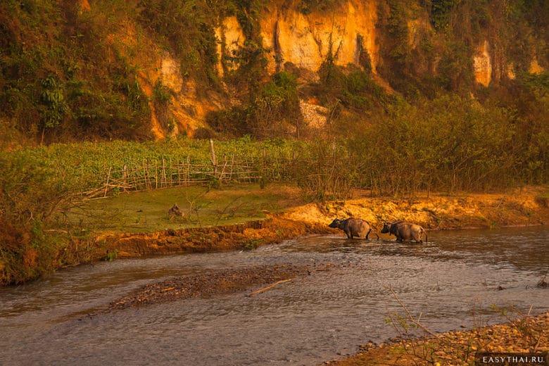 Коровы в Таиланде