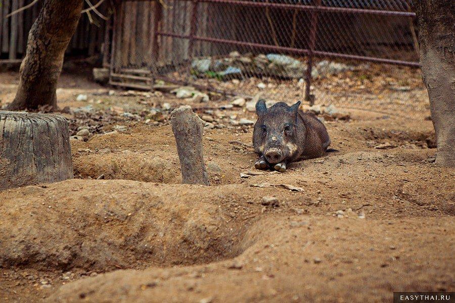 Дикая свинья в зоопарке