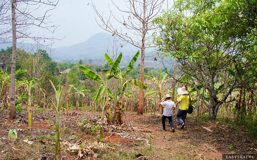 Плантация банановых пальм в Таиланде